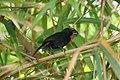Greater Antillean Bullfinch (Loxigilla violacea) (6499245357).jpg