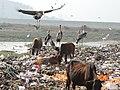 Greater adjutant stork garbage dump Guwahati AJTJ DSCN7659.JPG