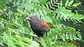 Greater coucal 09.jpg