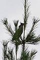 Green Heron (Butorides virescens) - Guelph, Ontairo 01.jpg