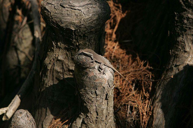 File:Green anole amphibian animal anolis carolinensis.jpg