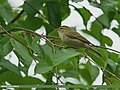 Greenish Warbler (Phylloscopus trochiloides) (21909982469).jpg
