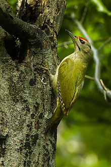 Grey-headed Woodpecker - Italy S4E5692.jpg