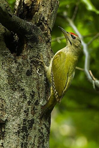 Grey-headed woodpecker - Image: Grey headed Woodpecker Italy S4E5692