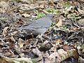 Grey-winged Blackbird - Turdus boulboul DSC01352.jpg