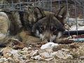 Grey Wolf 03.jpg