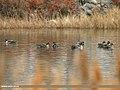 Greylag Goose (Anser anser) (27227038923).jpg