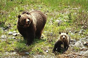 Grizzly bear and cub in the Shoshone National ...
