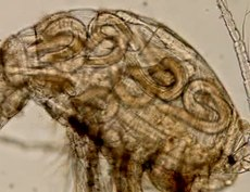 File:Growth-and-development-of-Gnathostoma-spinigerum-(Nematoda-Gnathostomatidae)-larvae-in-Mesocyclops-1756-3305-4-93-S1.ogv