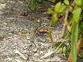Guadarrama Wall Lizard (Podarcis guadarramae) male (14300774370).jpg