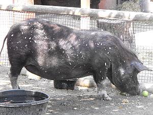 Guinea hog - A Guinea hog at the Roger Williams Park Zoo