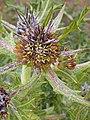 Gundelia tournefortii 2.JPG