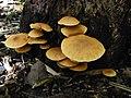 Gymnopilus luteoviridis Thiers 285745.jpg