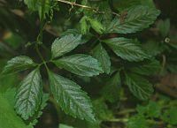 Gynostemma pentaphyllum 1