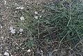 Gypsophila patrinii 25099039.jpg
