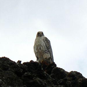 Gyrfalcon - Adult F. r. islandus at Dimmuborgir near Lake Mývatn (Iceland)