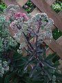 HD Rosa blühende Gartenpflanze 2011.JPG
