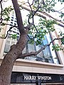 HK 中環 Central 遮打道 Chater Road Harry Winston shop at 香港文華東方酒店 Mandarin Oriental Hotel tree trunk Sunday morning December 2019 SSG.jpg
