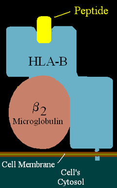 Illustration of HLA-B with peptide in the binding pocket.