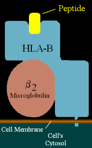 HLA-B57 - Illustration of HLA-B with peptide in the binding pocket.