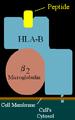 HLA-B.png