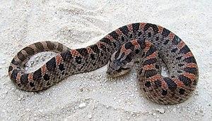 Southern hognose snake - Adult southern hog-nosed snake