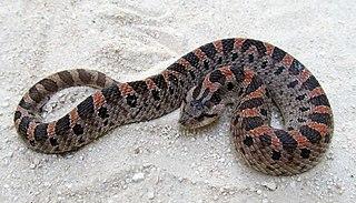 Southern hognose snake Species of snake