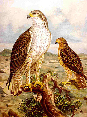 Bonelli's eagle - Artwork from a 19th-century German Natural History book