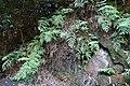 Habitat of Histiopteris incisa Yunomine Hot spring district C.jpg