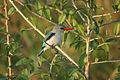 Halcyon senegaloides Saadani NP, Tanzania 1.jpg