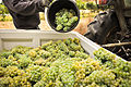 Hand harvested Gruner Veltliner grapes at Hahndorf Hill vineyard in the Adelaide Hills.jpg