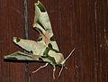 Harlequin Hawkmoth (Batocnema africana) (13626194433).jpg