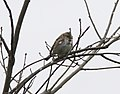 Harris's Sparrow, Muskegon SGA Headquarters, April 10 2012 (7064533689).jpg