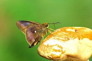 <i>Hasora badra</i> species of insect
