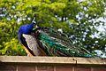 Heaton Park 2016 050 - Peacock.jpg