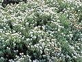 Hebe pinguifolia3.jpg