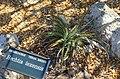 Hechtia texensis - Marie Selby Botanical Gardens - Sarasota, Florida - DSC01293.jpg