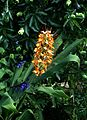 Hedychium coccineum ^ Salvia guaranitica Black ^ Blue - Flickr - peganum.jpg