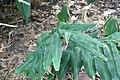 Hedychium villosum 2zz.jpg