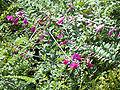Hedysarum multijugum 20070810-1215-46A.jpg