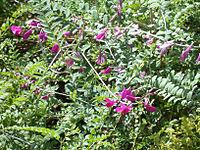 Hedysarum multijugum 20070810-1215-46A