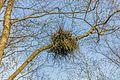 Heksenbezem in een berk (Betula) ('It Wikelslân). Locatie, De Alde Feanen in Friesland.jpg