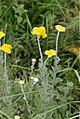 Helichrysum cf umbraculigerum (Asteraceae) (4782560430).jpg