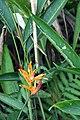 Heliconia psittacorum 28zz.jpg