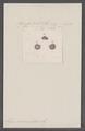 Helix caementitia - - Print - Iconographia Zoologica - Special Collections University of Amsterdam - UBAINV0274 089 01 0079.tif