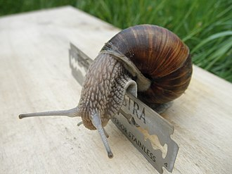 Terrestrial locomotion - Helix pomatia crawling over razor blades. Terrestrial gastropods crawl on a layer of mucus. This adhesive locomotion allows them to crawl over sharp objects.