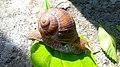 Helix pomatia or Roman snail in Yerevan 03.jpg