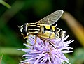 Helophilus trivittatus qtl3.jpg