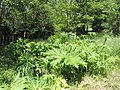 Heracleum mantegazzianum kz03.jpg