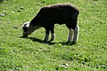 Hereford Sheep - panoramio.jpg
